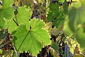nemesvita-szőlő